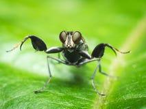 Ochthera-Fliege Lizenzfreies Stockbild
