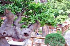 Ociągający się Ogrodowi bonsai obraz stock