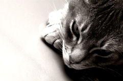 Ocicat stock photography