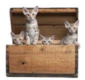 Ocicat Kätzchen, 13 Wochen alt, tauchend von einem Kasten auf Stockbild