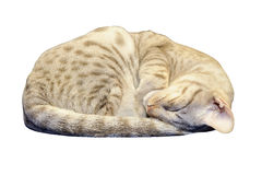 Ocicat Kätzchen, das mit Ausschnittspfad schläft Stockfoto