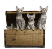 Ocicat kittens, 13 weeks old, emerging from a box. Ocicat kittens, 13 weeks old, emerging from a wooden box in front of white background Stock Photos