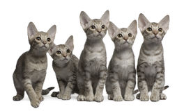 Ocicat kittens, 13 weeks old, sitting Royalty Free Stock Image