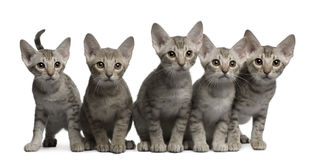 Ocicat kittens, 13 weeks old, sitting Stock Photography