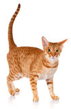 Ocicat red cat on a white background, studio photo. Ocicat red cat on a white background, side view, studio photo royalty free stock image