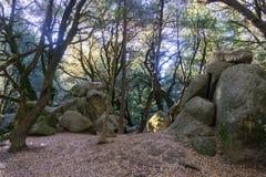 Ocieniony las na pogodnym ranku, światło filtruje przez lasu, kasztelu stanu Rockowy park, Santa Cruz góry, San Francisco zdjęcie stock