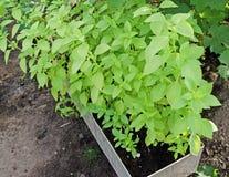 Ocimum, albahaca Albahaca crecida en el jardín foto de archivo libre de regalías
