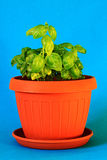 Ocimum basilicum Fotografie Stock Libere da Diritti