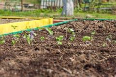 Ocimum basilicum (basil) growing in seedbed. Royalty Free Stock Images