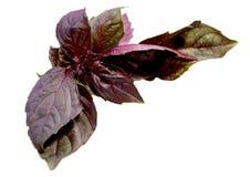 Ocimum basilicum dell'ingrediente di alimento Fotografia Stock Libera da Diritti