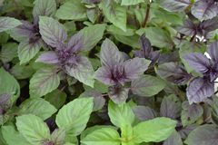 Ocimum basilicum. Fragrant herb, spices. Basil. Basil. Ocimum basilicum. Fragrant herbs, spices, herb garden. Aromatic herbs. Spices in the natural environment stock photography