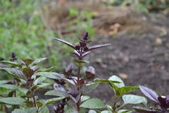 Ocimum basilicum. Fragrant herb, spices. Basil. Basil. Ocimum basilicum. Fragrant herbs, spices, herb garden. Aromatic herbs. Spices in the natural environment royalty free stock photo