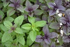 Ocimum basilicum. Fragrant herb, spices. Basil. Basil. Ocimum basilicum. Fragrant herbs, spices, herb garden. Aromatic herbs. Spices in the natural environment stock image