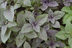 Ocimum basilicum. Fragrant herb, spices. Basil. Ocimum basilicum. Fragrant herbs, spices, herb garden. Aromatic herbs. Spices in the natural environment. Italian royalty free stock photo