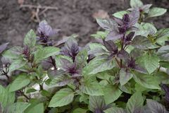 Ocimum basilicum. Fragrant herbs, spices, herb garden. Aromatic herbs. Aromatic herbs. Spices in the natural environment. Basil. Ocimum basilicum. Fragrant herbs stock image