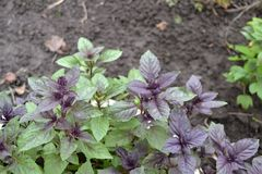 Ocimum basilicum. Fragrant herbs, spices, herb garden. Aromatic herbs. Aromatic herbs. Spices in the natural environment. Basil. Ocimum basilicum. Fragrant herbs stock photography