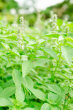 Ocimum basilicum or Hairy Basil in the garden Royalty Free Stock Photo