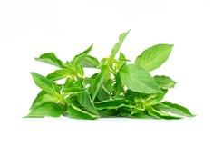 Ocimum basilicum or hairy basil leaf isolated on white bacgkround. stock photo