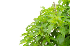 Ocimum basilicum Royalty Free Stock Image
