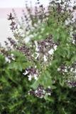 Ocimum basilicum Lin Immagine Stock