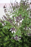Ocimum basilicum Lin. Stock Image