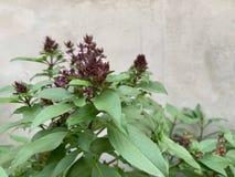 Ocimum basilicum Linn, thailändische Basilikumbäume, lokales Gemüse für das Kochen, Kräuter auf konkretem Hintergrund stockfoto
