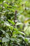 Ocimum basilicum plant Stock Photography