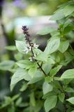 Ocimum basilicum plant. In nature garden royalty free stock photography