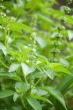 Ocimum basilicum plant Royalty Free Stock Image