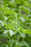 Ocimum basilicum plant Stock Photo