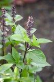 Ocimum basilicum plant Royalty Free Stock Photo