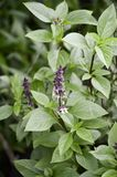 Ocimum basilicum plant Stock Images