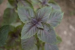 Gren and purple leaves of Ocimum basilicum purpurascens. Ocimum basilicum purpurascens close up royalty free stock images