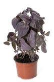 Ocimum basilicum purpurascens Royalty Free Stock Photo