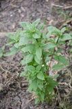 Ocimum basilicum tree in nature garden Stock Image