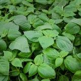 Ocimum gratissimum plant Royalty Free Stock Images
