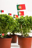 Ocimum minimum plants. Over a white wooden background and a portuguese flags Stock Photography