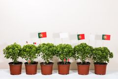 Ocimum minimum plants. Over a white wooden background and a portuguese flags Royalty Free Stock Photos