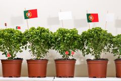 Ocimum minimum plants. Over a white wooden background and a portuguese flags Stock Images