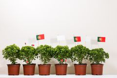 Ocimum minimum plants. Over a white wooden background and a portuguese flags Stock Photo