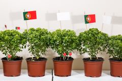 Ocimum minimum plants. Over a white wooden background and a portuguese flags Royalty Free Stock Images