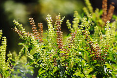 Ocimum sanctum Royalty Free Stock Photos