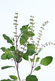 Ocimum tenuiflorum Stockbilder