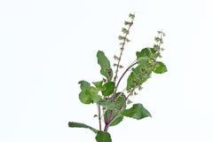 Ocimum tenuiflorum Stockfoto