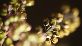 Ocimum tenuiflorum plant close up stock video