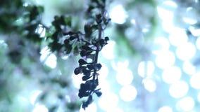 Ocimum tenuiflorum plant close up stock video footage