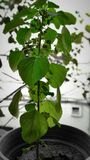 Ocimum tenuiflorum.. a spritual plant in India Royalty Free Stock Photo