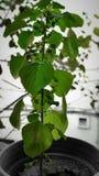 Ocimum tenuiflorum spritual roślina w India zdjęcie royalty free