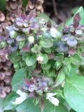Ocimum tenuiflorum & x28;synonym Ocimum sanctum& x29; picture. Small leaves if beautiful ocimum Stock Photography
