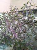 Ocimum tenuiflorum( Tulasi) arkivfoton
